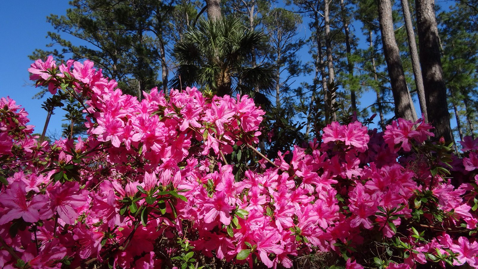 Azaleas blooming at The Sea Pines Resort