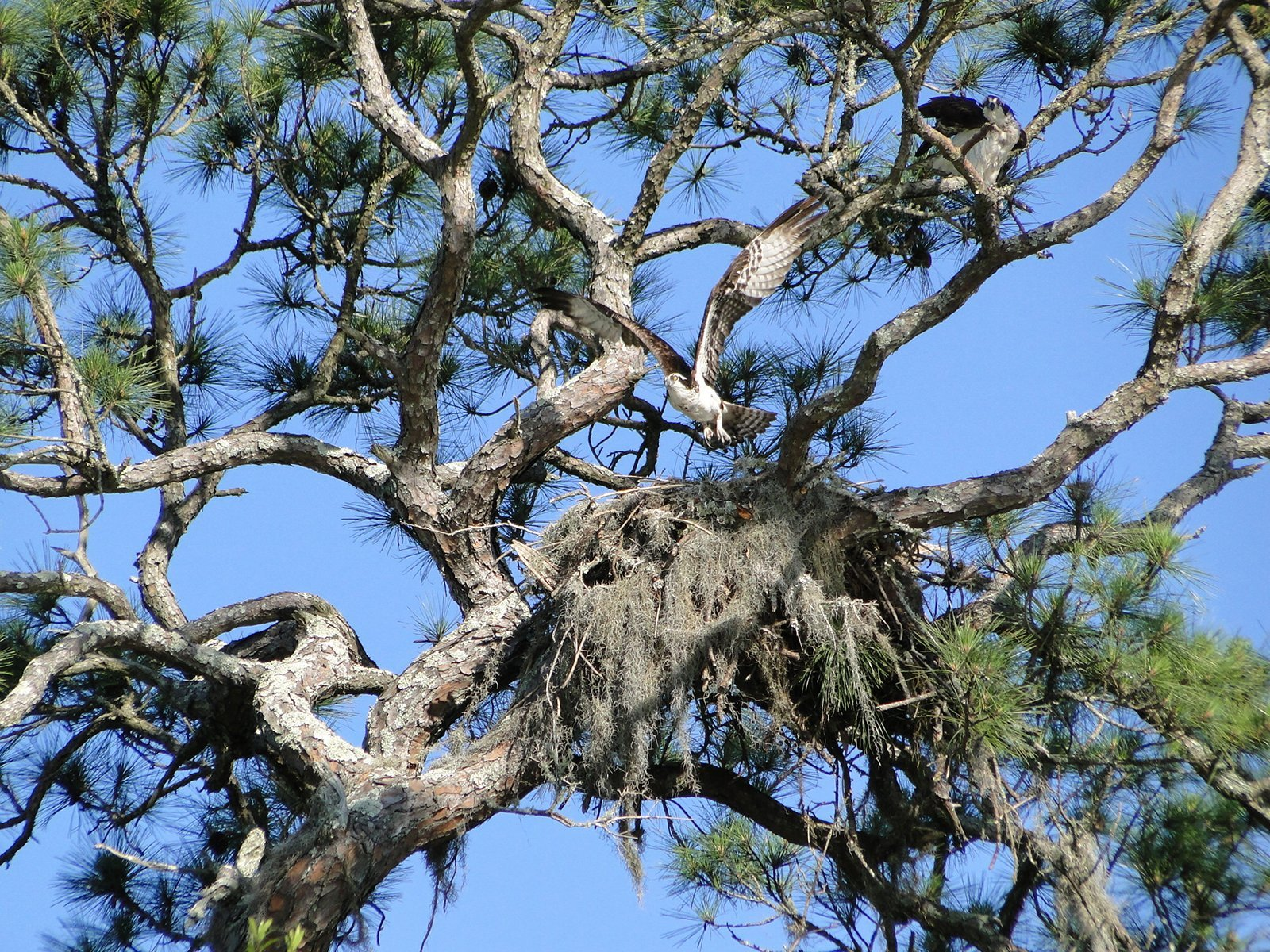 Sea Pines Osprey Nest #7515